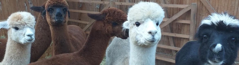 Alpakaseifen von Nelumbo Kosmetik